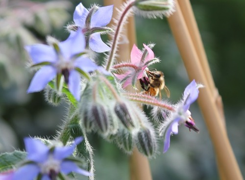 July9_borage2