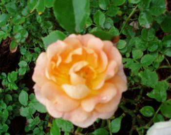 roseJune24