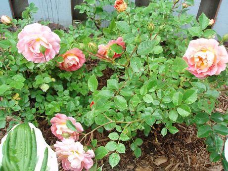 rose_shrub