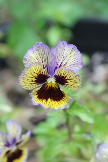 Sept17_pansy