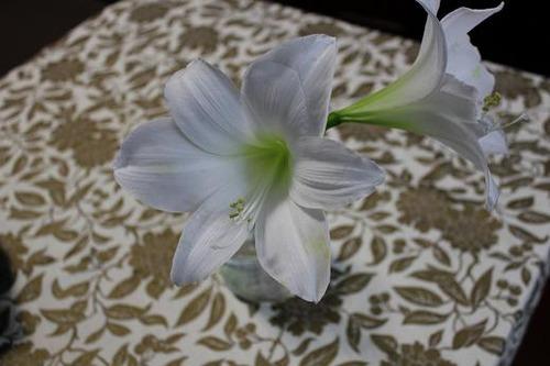 whiteamaryllis_jan30