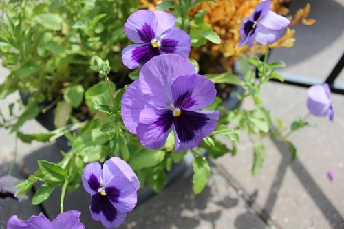 July27_pansies3