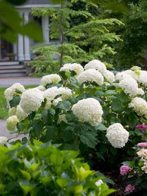 IncrediballHydrangea