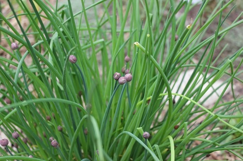 May18_chives