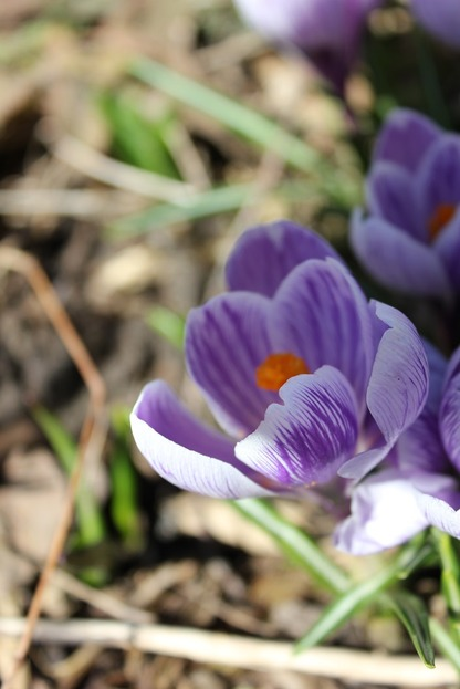 March29_crocuses2
