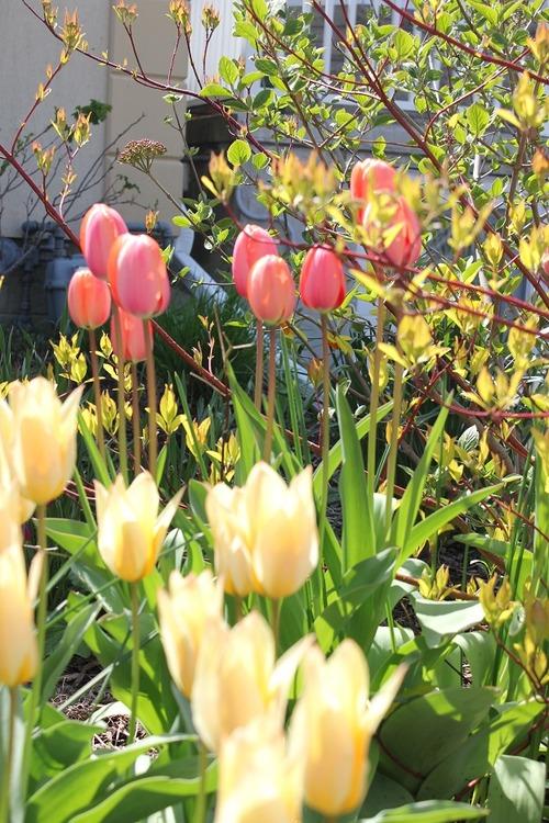 May10_tulips
