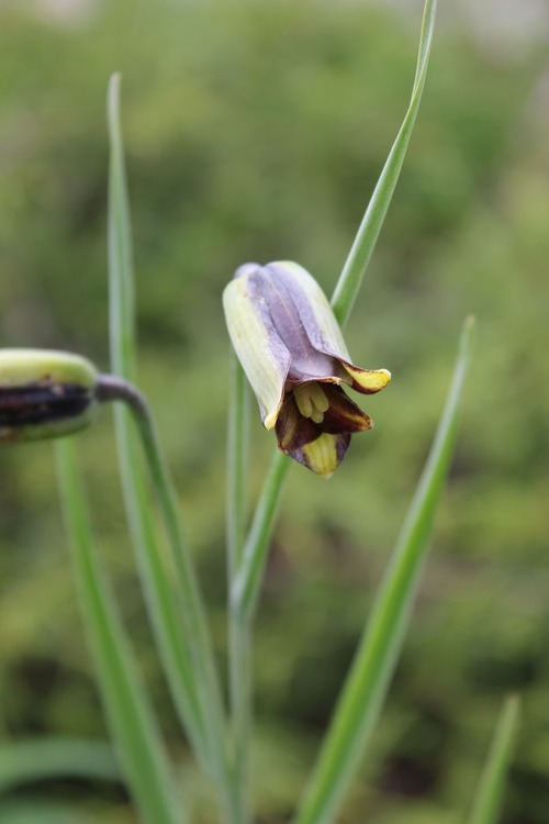 May22_Fritillaria elwesii
