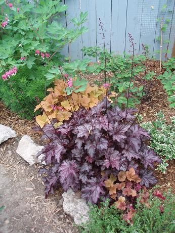 May27_heucheras