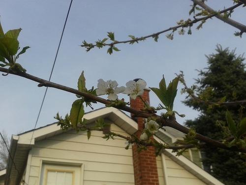 May13_cherrytree1
