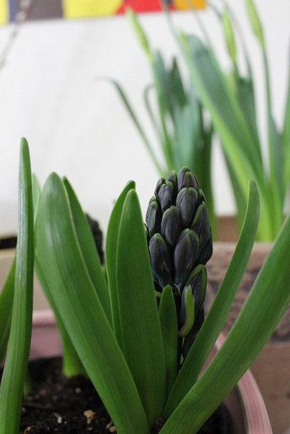 Feb21_hyacinth
