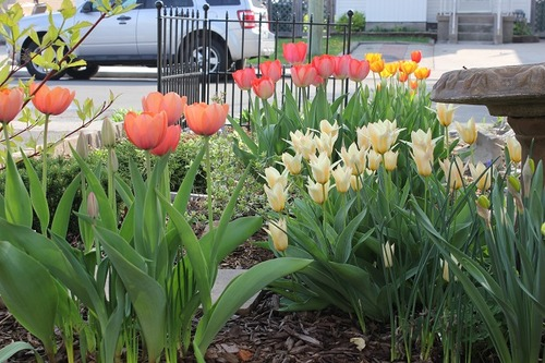 May10_ftulips2