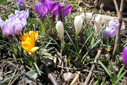 March29_crocuses4