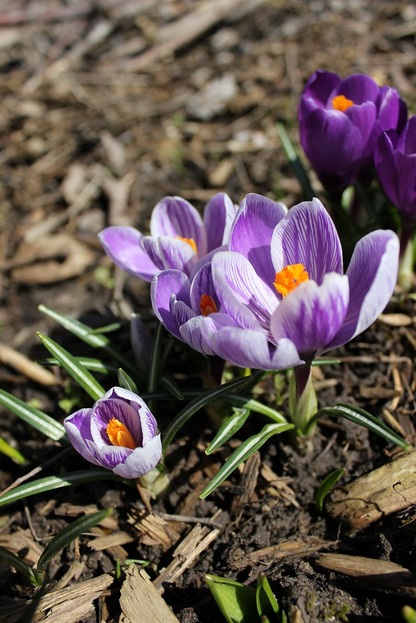 March26_crocuses6