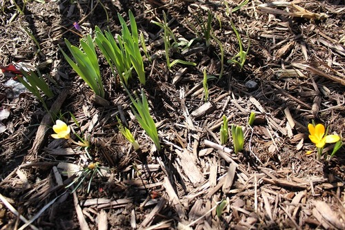 March29_crocuses3