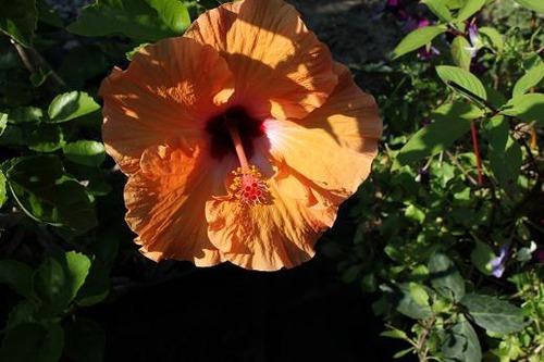 Aug25_hibiscus