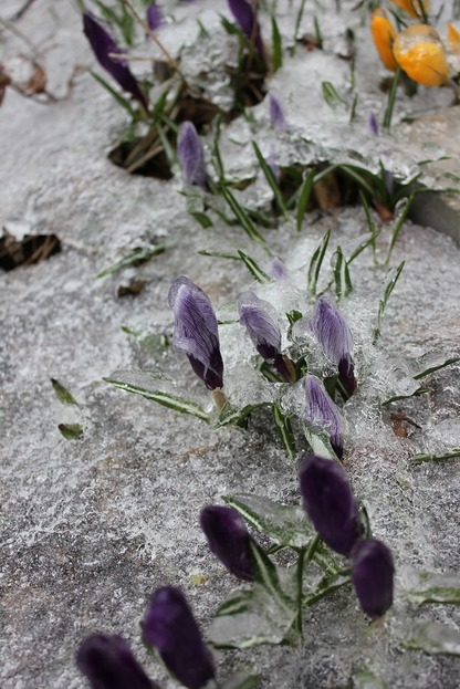 March25_crocuses2