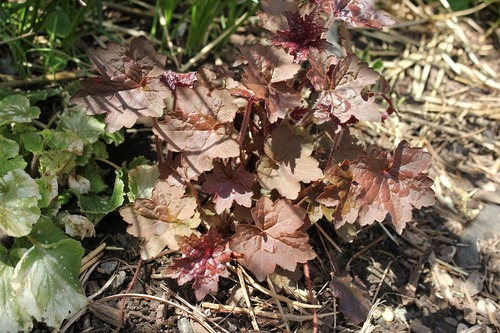 May7_heuchera