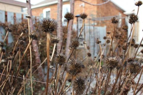 Nov29_echinacea