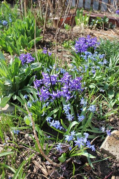 Apr22_hyacinth1