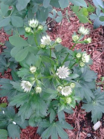 Sept15_astrantia