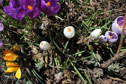 March29_crocuses5