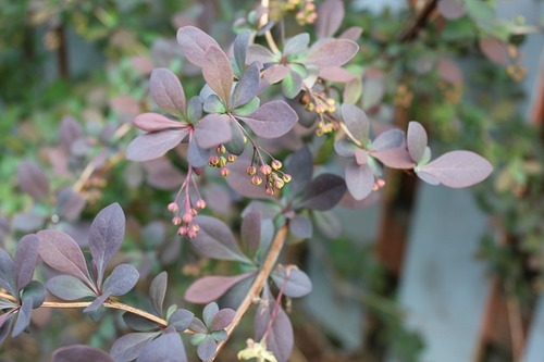 May10_barberry