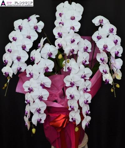 沖縄の胡蝶蘭-開店祝い