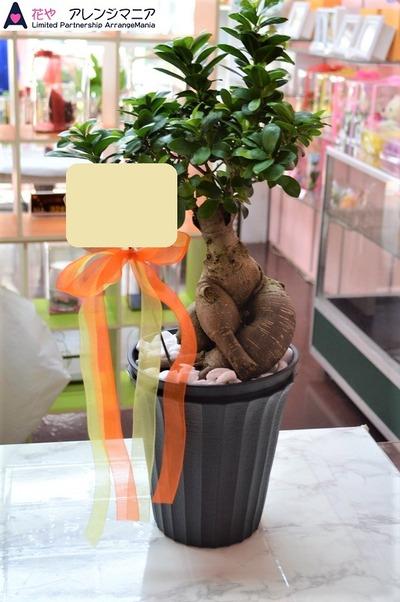 沖縄ガジュマル観葉植物
