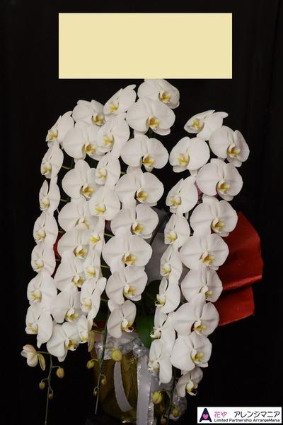 胡蝶蘭那覇市の花屋