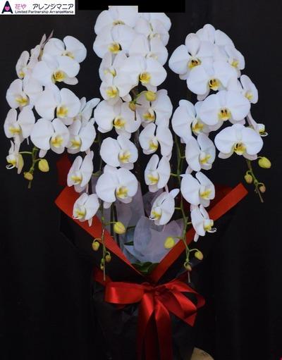 胡蝶蘭・沖縄の花屋