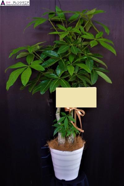 観葉・沖縄で開店祝いの観葉植物