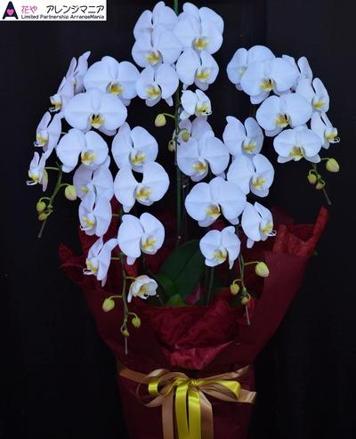 沖縄で開店祝いの胡蝶蘭・花屋アレンジマニア