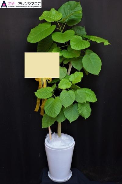 開店祝い・沖縄・観葉植物