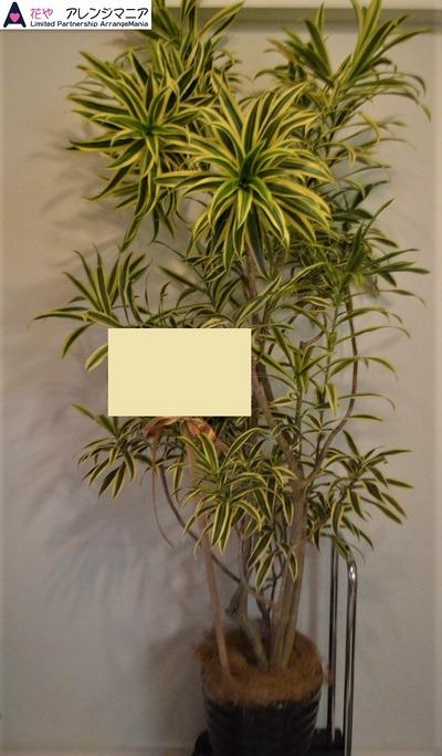 予算で選ぶ・観葉植物・沖縄の花屋16500