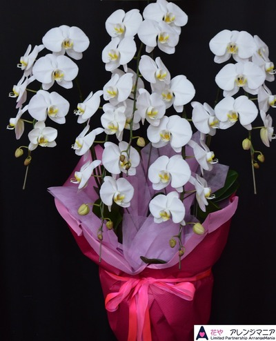 胡蝶蘭沖縄の花屋