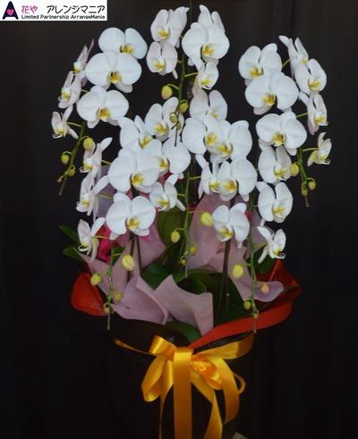 沖縄で胡蝶蘭・開店祝いや周年祝いに
