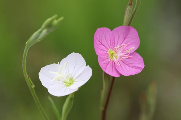 赤と白花ユウゲショウ