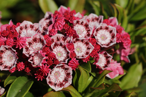 赤花カルミア3