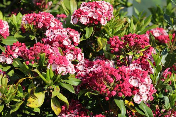 赤花カルミア2