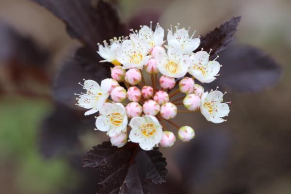 赤花コデマリ2