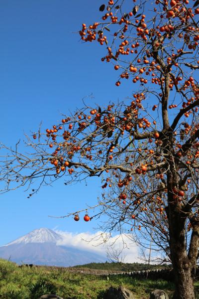 柿と富士山15