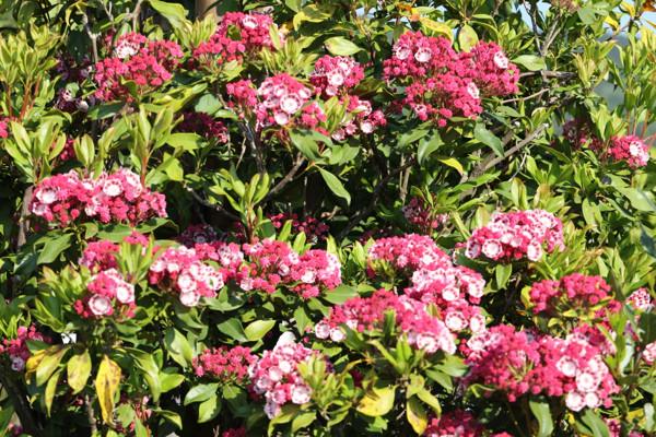 赤花カルミア1