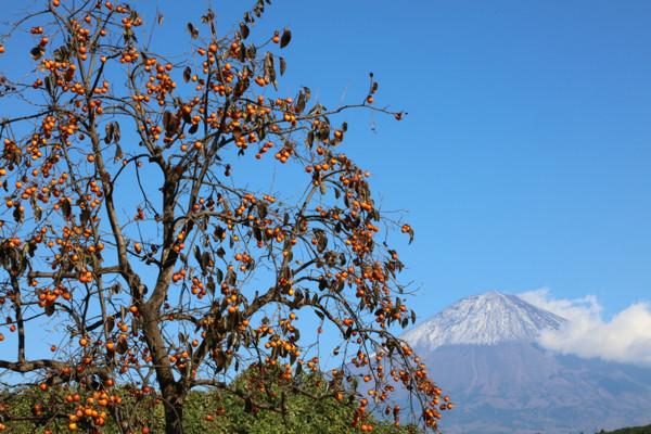 柿と富士山6