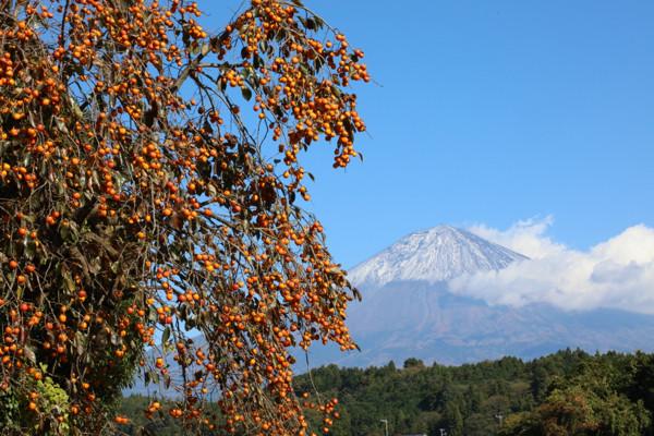 11/11 柿と富士山・1