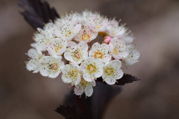 赤花コデマリ1