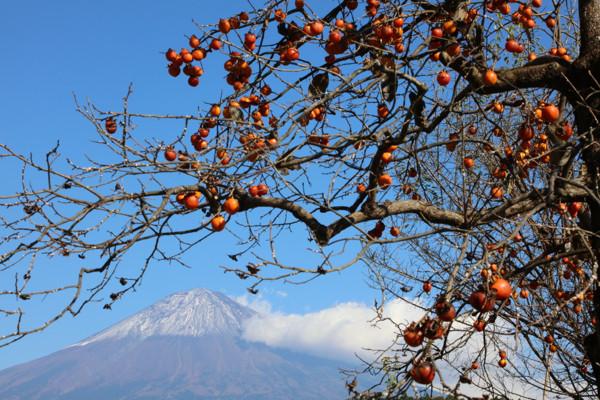 柿と富士山17