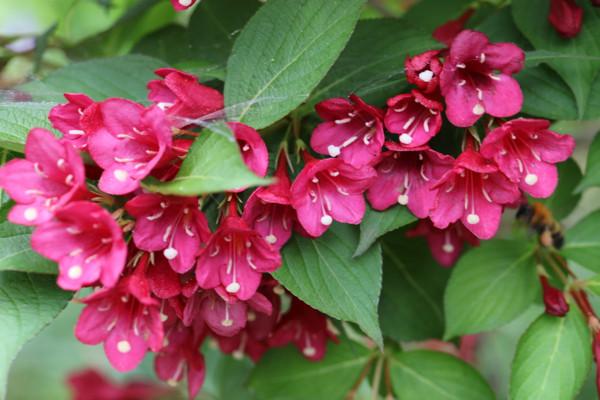 紅花ウツギ1