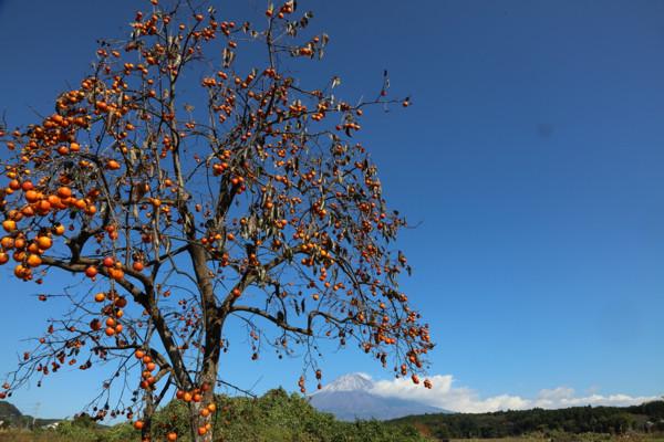 柿と富士山10
