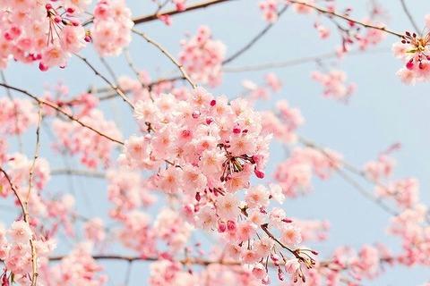 cherry-tree-1225186_640