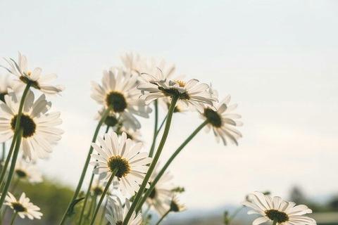 daisies-5091308_640